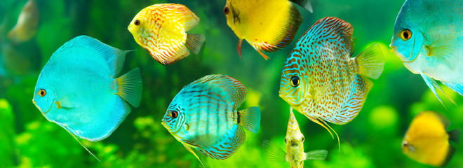 colorful tropical discus fish