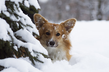 Photo of a dog (breed welsh pembroke corgi fluffy, red colored) under the Christmas tree, winter day, Russia