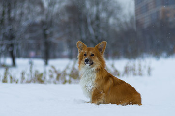 Photo of a dog (breed welsh pembroke corgi fluffy, red colored) dreamily looking on the photographer, winter day, Russia