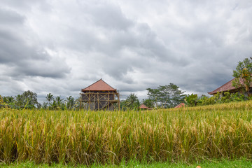 Fotobehang Rijstvelden Rice field with beautiful sky. Bali, Indonesia.