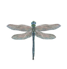 Blue dragonfly on white background isolated. Hand-drawn watercolor illustration.