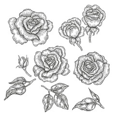 Hand drawn rose flowers and leaves isolated on white background.