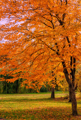 Beautiful Colorful Autumn Leaves. wonderful view. majectic trees with colored leaf