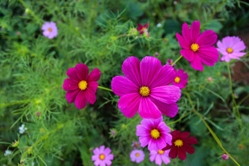 Pink Cosmos flowers in the garden, (Cosmos Bipinnatus)