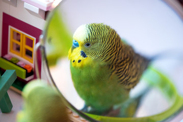 Green budgerigar parrot close up look in the mirror