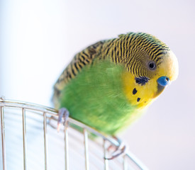 Green budgerigar parrot close up sits on cage