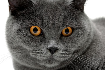 Portrait of a gray cat with yellow eyes.