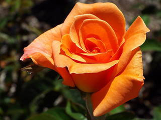 closeup of a single orange peach colored rose in bloom in summer sunlight