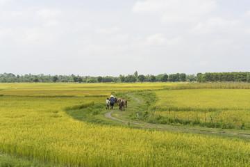 Rice field by harvest season
