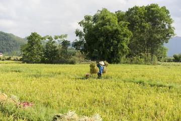 Rice field by harvest season in Vietnam