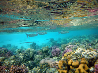 beautiful coral reef with flocks fishes