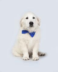 Cachorro de perro Golden Retriever con pajarita