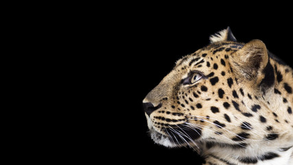 portrait of a leopard isolated on a black background