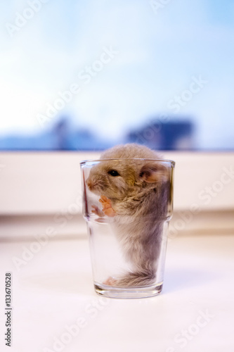 little beige chinchilla sits in the glass stock photo. Black Bedroom Furniture Sets. Home Design Ideas