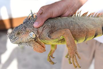 Hand holding iguana
