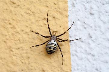 Wespenspinne auf Hausmauer