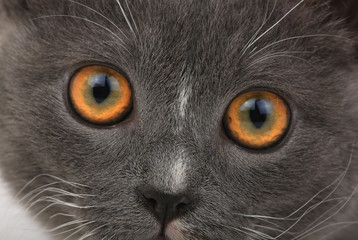 portrait gray cat