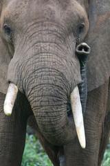 Peeking elephant snout