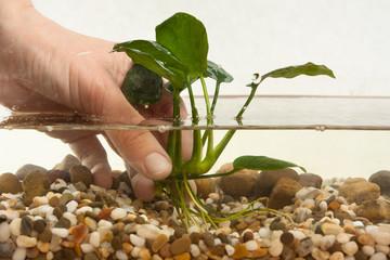 hand planting aquatic plant in aquarium