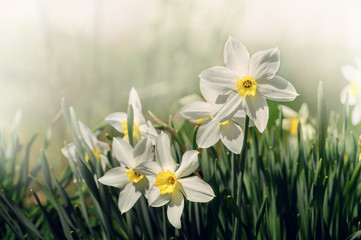 White and yellow daffodil flower outdoors in spring