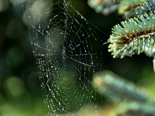 Spider web with drops of water on a fir branches close up