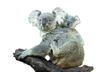 Garden Poster Koala Adult koala sitting on a branch and holds on his back a little baby on a white background