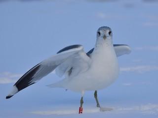 The common gull (Larus canus) on snow