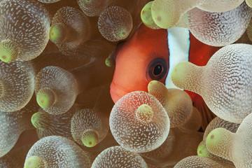 clownfish 3