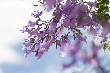 Jacaranda flower.