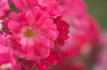Bush of pink roses in  garden.