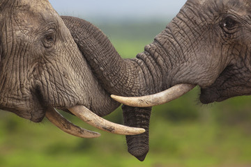 Two friendly elephants touching each other with their trunks.