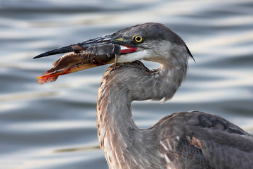 A Fresh Catch - Great Blue Heron