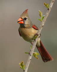 Female cardinal perching on branch