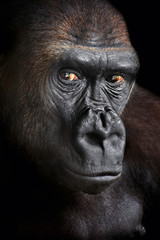 Portrait of a gorilla.