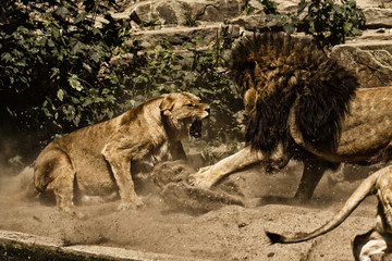 Lions fighting in Artis zoo, Amsterdam, North Holland, Netherlands