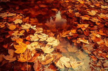 Autumn leaves floating in a lake.