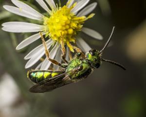 Green metallic bee sitting on flower, Hueytown, Alabama, USA