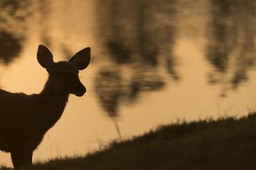 the sambar deer in Khao Yai National Park, Thailand
