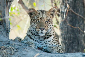 Leopard resting on a termite mound
