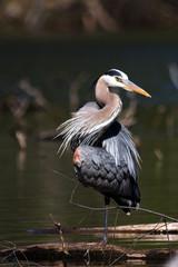 Great blue heron (Ardea herodias) in water