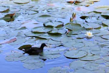 Poule d'eau. Les étangs de Corot. Ville d'Avray. / Moorhen. The ponds of Corot. Ville d'Avray.