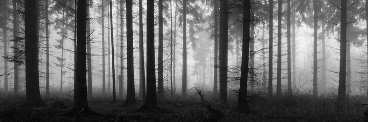 A fog covered pine forest.