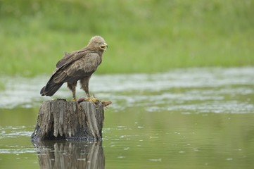 A lesser spotted eagle on a tree stump.