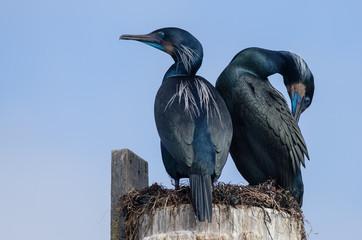 A pair of Brandt's cormorants at Elkhorn Slough National Estuarine Research Reserve in California, USA.