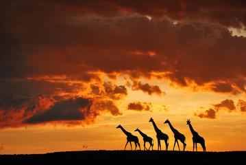 Silhouette of giraffes at sunset in Masai Mara National Reserve, Kenya.