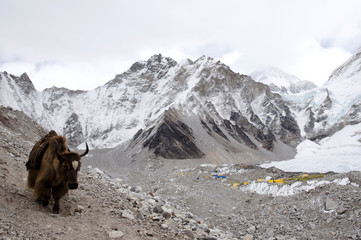Fotobehang - Yak in Everest Base Camp - Nepal