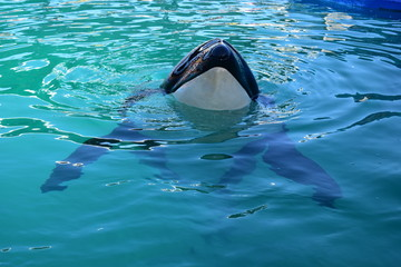 Miami, Florida - USA - January 08, 2016: Killer Whale Swimming