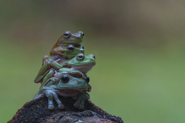 macro closeup of four green forest tree frog lay piled up while sitting on a wood