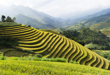 Garden Poster Rice fields Asia rice field by harvesting season in Mu Cang Chai district, Yen Bai, Vietnam. Terraced paddy fields are used widely in rice, wheat and barley farming in east, south, and southeast Asia
