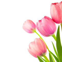 Big Spring Tulips frame for holiday background, isolated